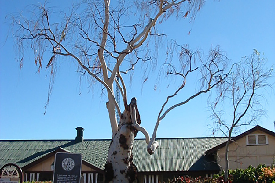 Tree Of Knowledge Barcaldine Kennedy S Timbers